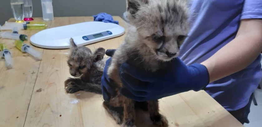 Emaciated cheetah cubs seized from smugglers on Oct. 2 are treated at a safe house in the Republic of Somaliland. The 12 cubs arrived in such poor health that nine of them died within 10 days.