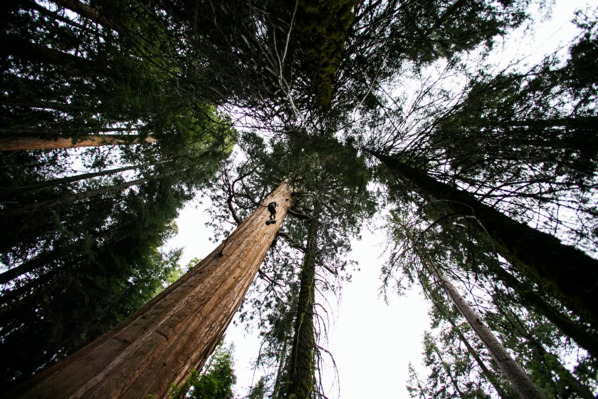 A researcher climbs a sequoia in Sequoia National Park.