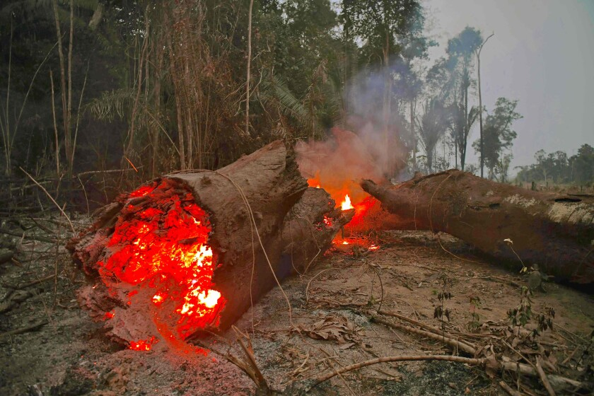 A tree burns in the Amazon rainforest in the Brazilian state of Rondonia.