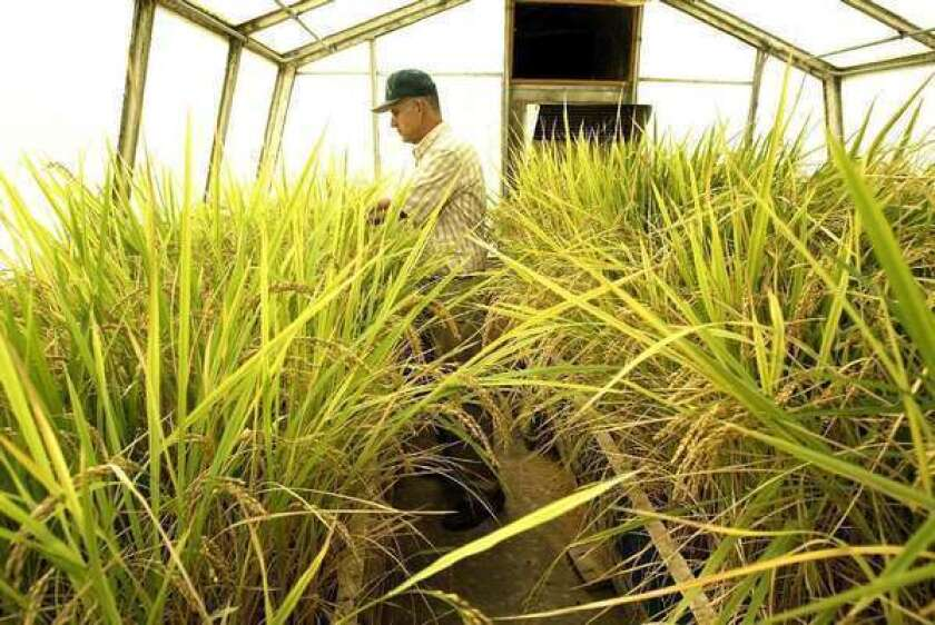 An experimental greenhouse of genetically engineered rice.