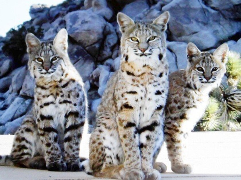 Legislation would ban trapping of bobcats for commercial purposes