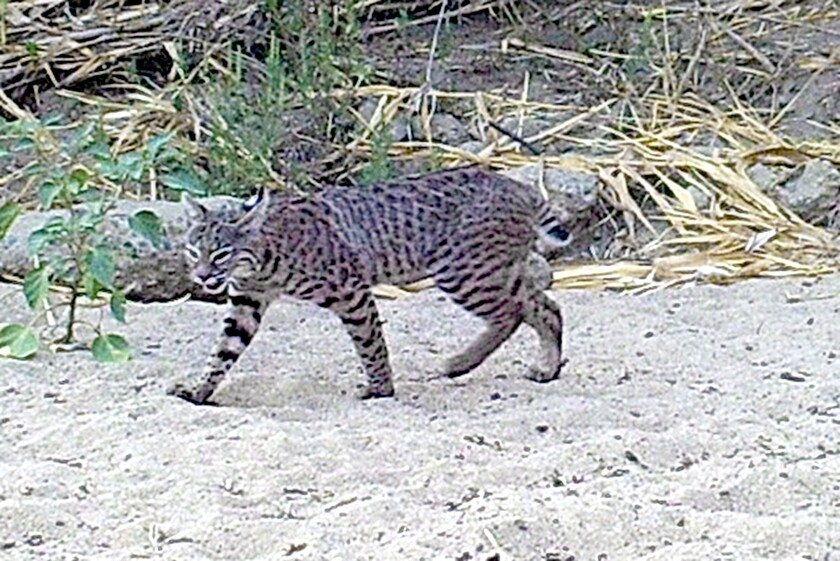 A bobcat caught on a trail camera at the San Dieguito River Conservancy's Fenton property in San Pasqual Valley.