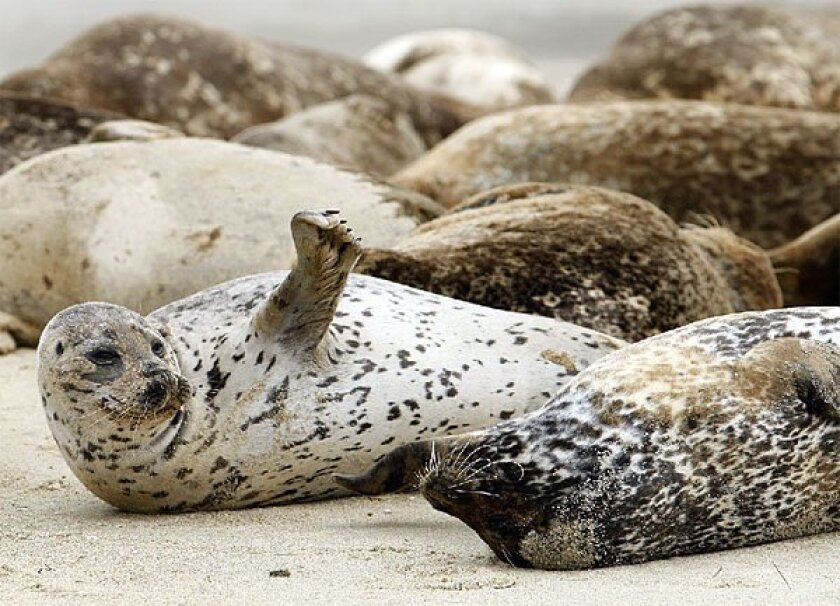 About 200 seals call the Children's Pool in La Jolla home, but a judge yesterday upheld their removal to 