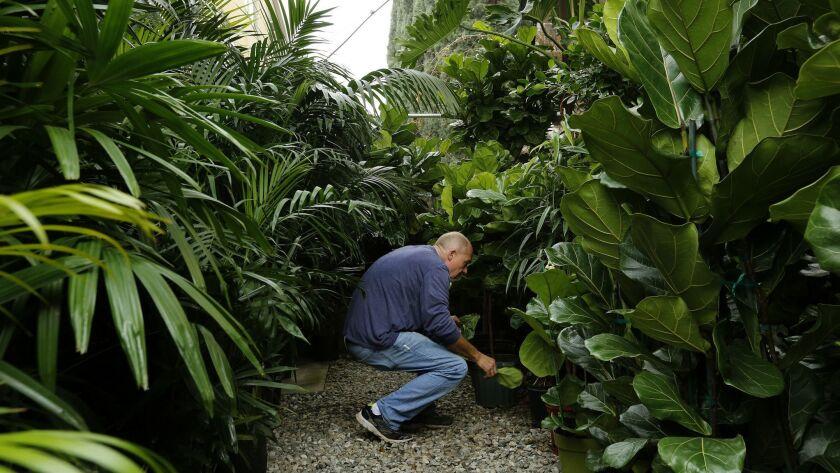 HOLLYWOOD, CA-DECEMBER 15, 2016: Mickey Hargitay, owner of Mickey Hargitay plants, places plants on
