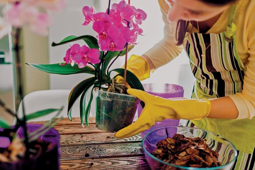 La Jolla Garden Club discusses orchids 1 p.m. Tuesday, Nov. 19, 2019 at La Jolla Woman's Club, 7791 Draper Ave., La Jolla.