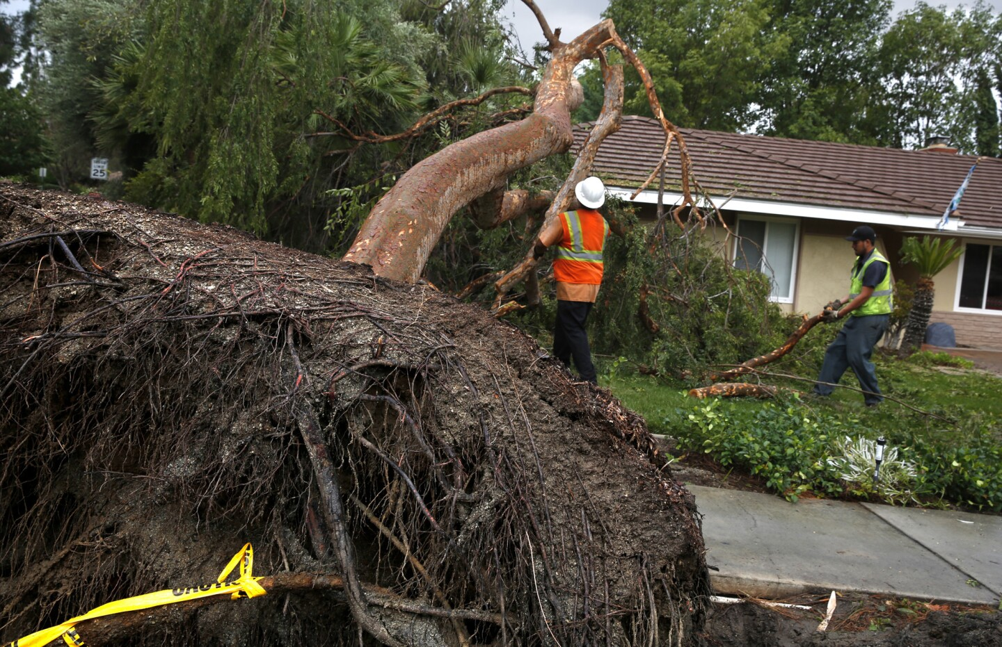 A 30-foot tall Chinese elm tree was blown over on Via Sotelo in Riverside.