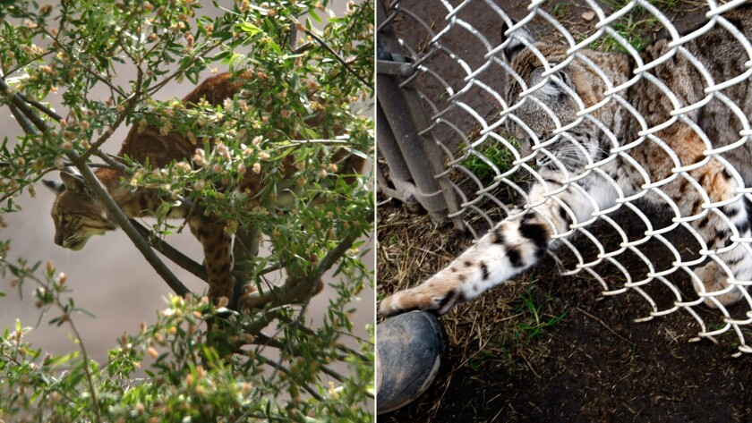 A treed bobcat in an Orange County Park, and one at a rescue facility.(Don Bartletti / Los Angeles Times)