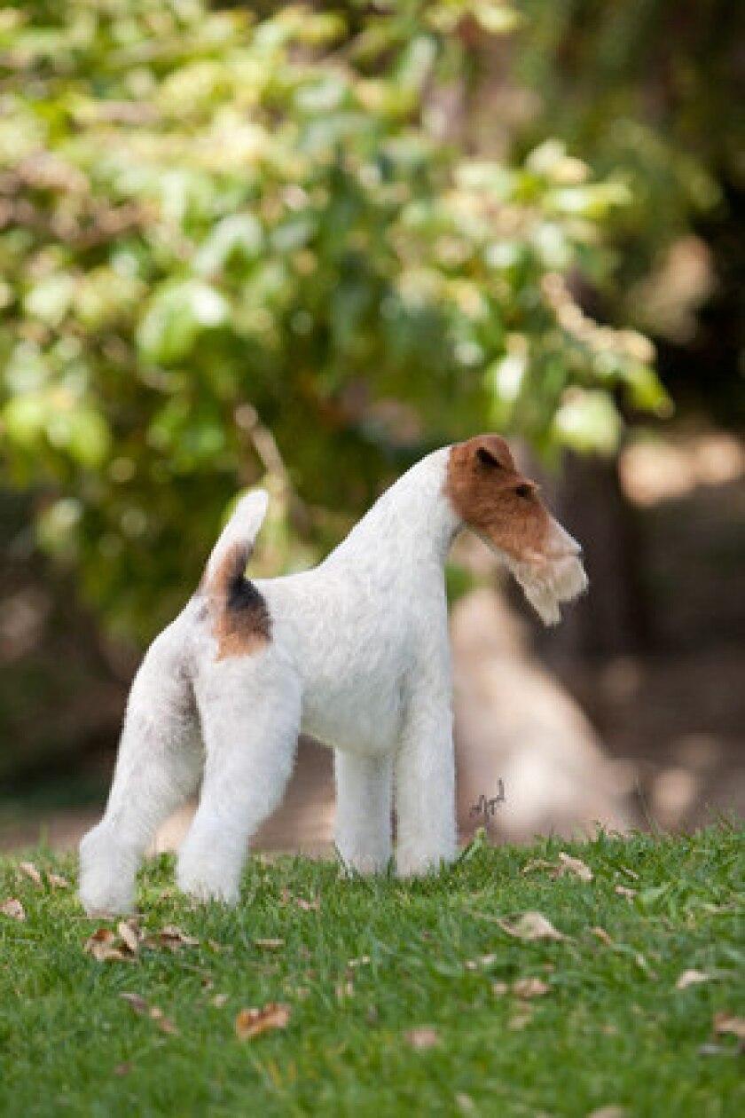 Tori Steele's wire fox terrier Eira is seen in Pasadena on June 6, 2011.