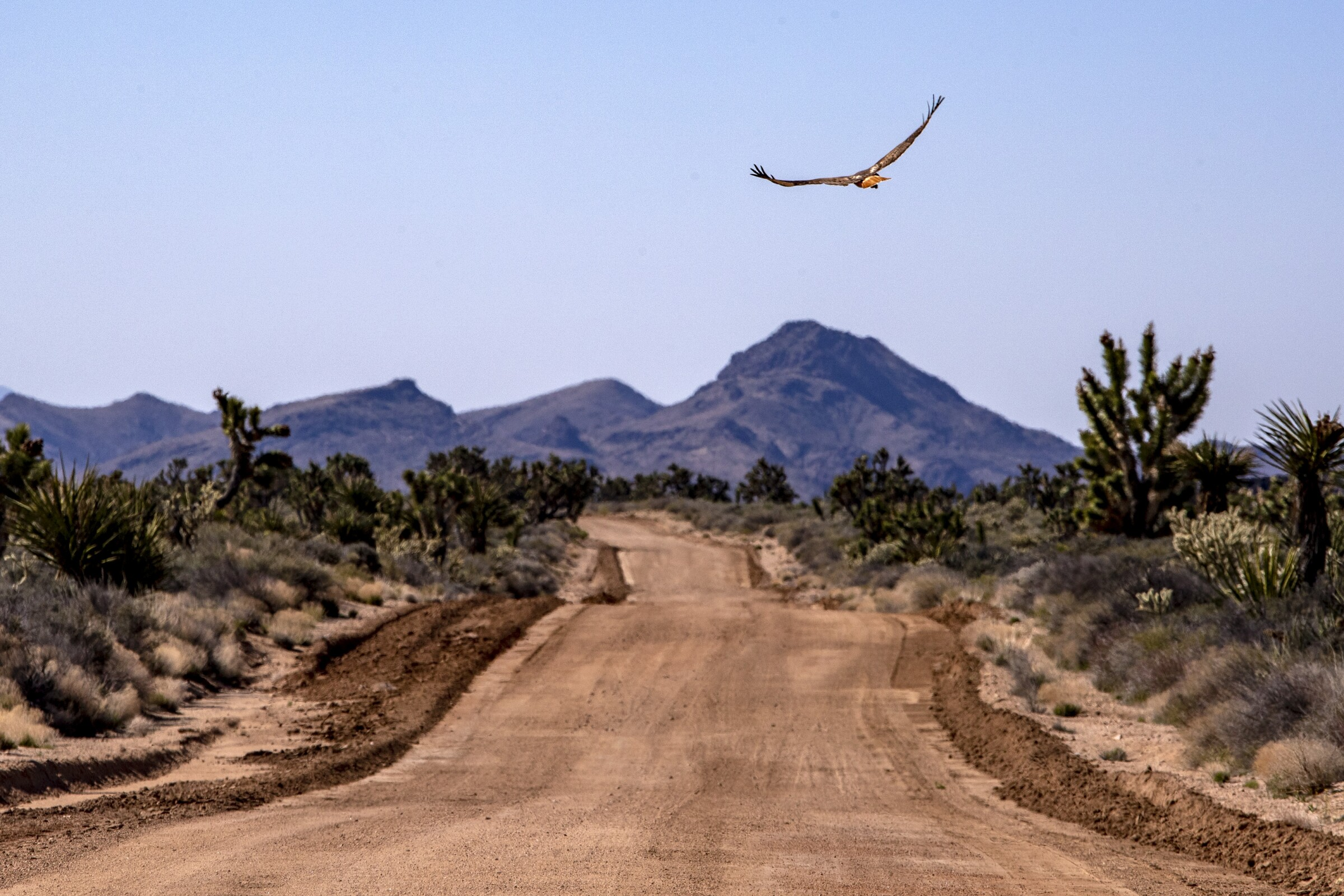 A red-tailed hawk flies over the historic Mojave Road in the Mojave National Preserve