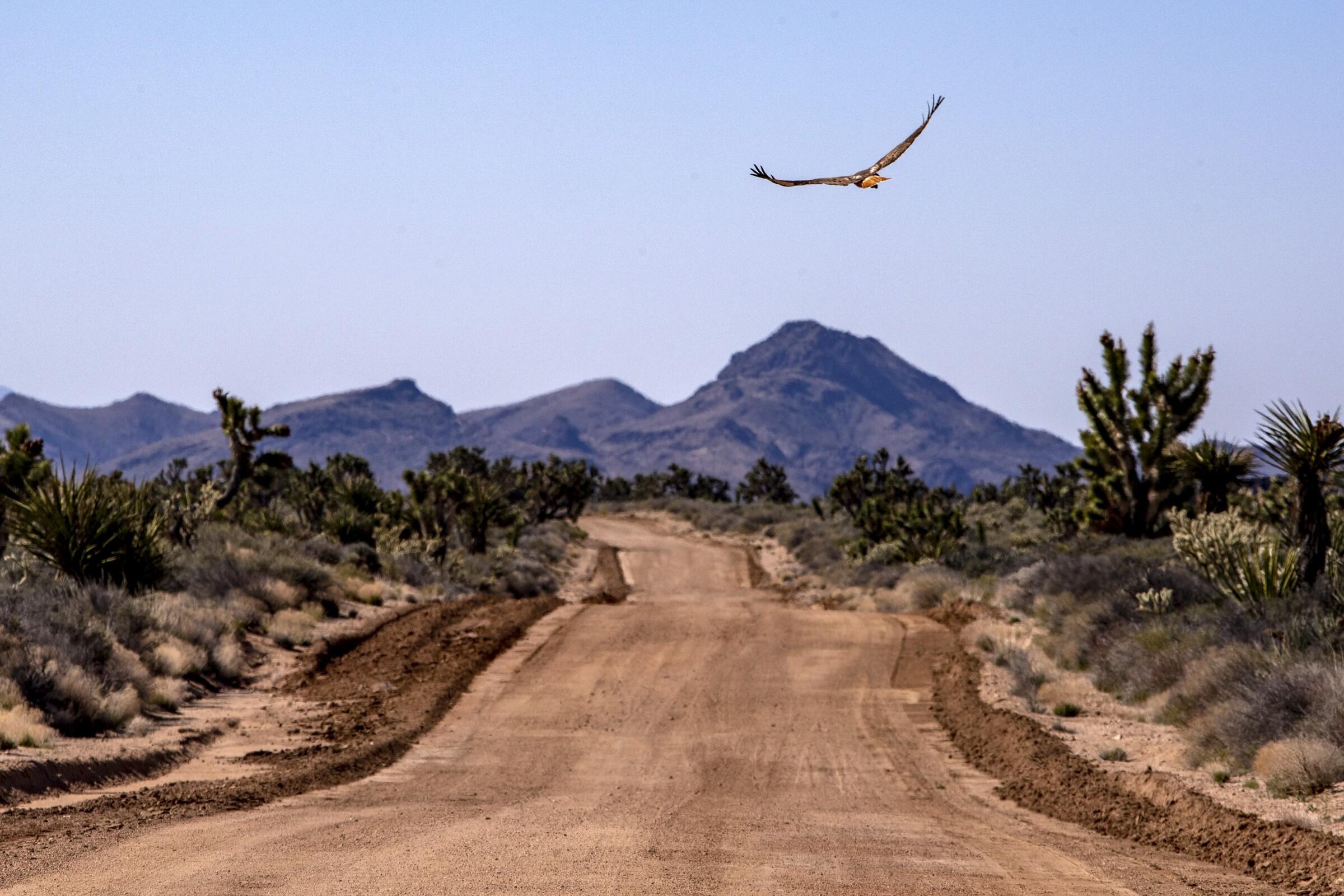 Un halcón de cola roja vuela sobre la histórica carretera Mojave Road en la Reserva Nacional Mojave en California.