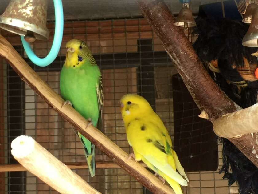 Parakeets Green Bean and Banana, named by the grandkids.