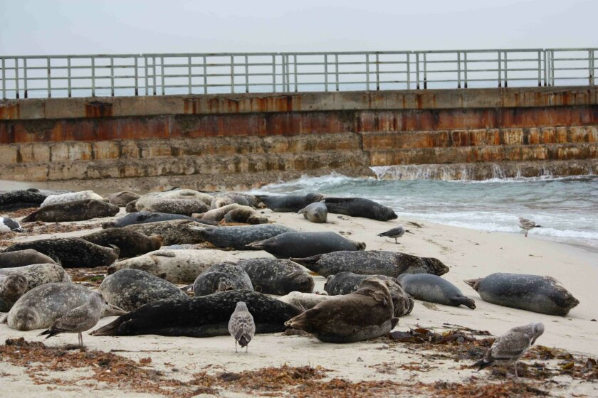 Seals lined the beach in early December 2009, before the pupping season rope went up. Light file photo