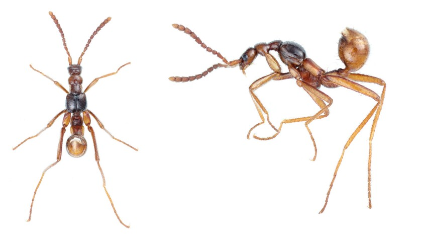 Two views of Diploeciton, a genus of rove beetle that evolved long legs and antennae, among other traits, to appear more ant-like.