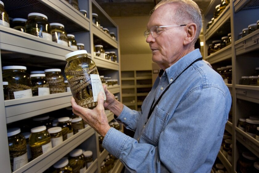Volunteer Dick Schwenkmeyer examined a one-gallon jar containing several rattlesnake specimens at the Natural History Museum in Balboa Park on March 3.