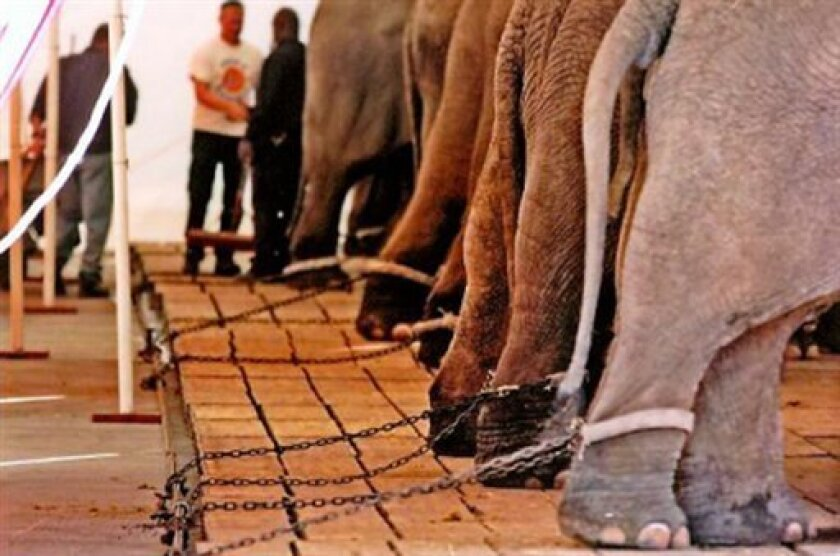 This undated file photo, provided by Born Free USA, is among the images placed in evidence by a coalition of animal welfare groups in their lawsuit against Ringling Bros.' Circus claiming that circus elephants are sometimes chained for days at a time. The coalition requested an injunction Wednesday, May 21, 2008, to halt the practice while battling to bring its long-running lawsuit to trial. (AP Photo/Born Free USA, Bradley Stookey)