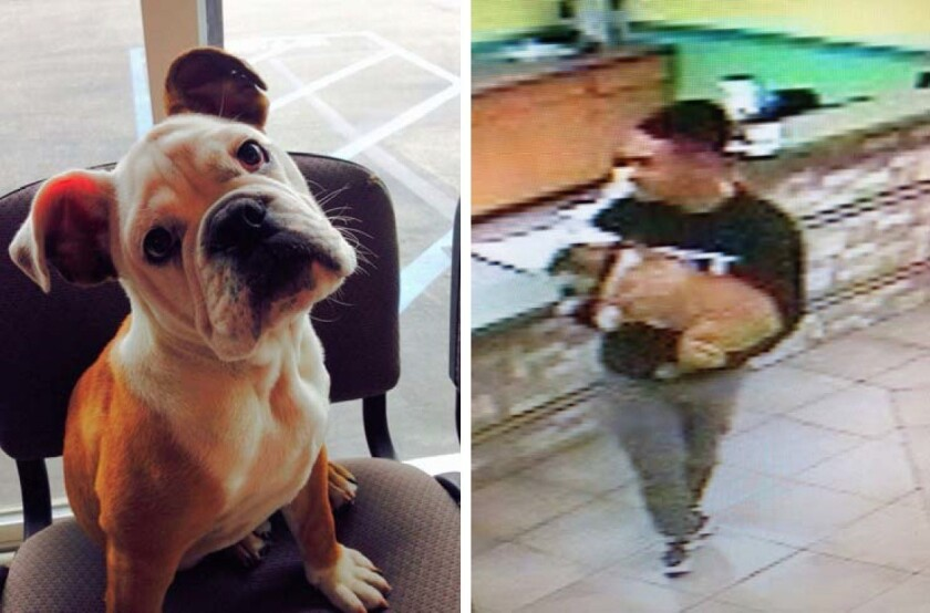 An English bulldog named Schroeder, left, was returned to its owners after being taken from a pet day care facility in San Marcos by a man who claimed to be its owner, seen in surveillance video, right, according to the San Diego County Sheriff's Department.