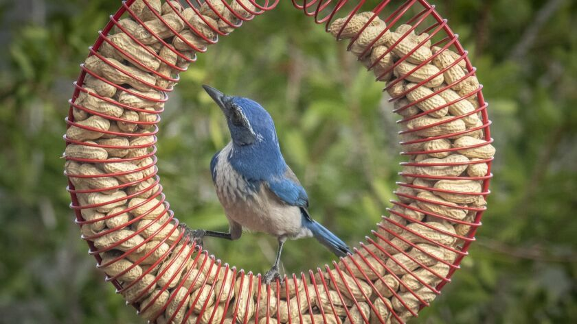 A wire wreath filled with peanuts is irresistible to this scrub jay.