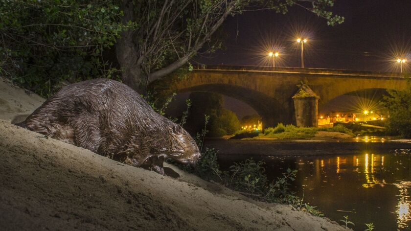 A European beaver (Castor fiber) is out and about after dark in the center of a big town in France.