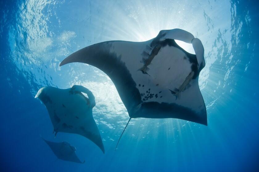 Giant manta rays in the Archipiélgo de Revillagigedo.