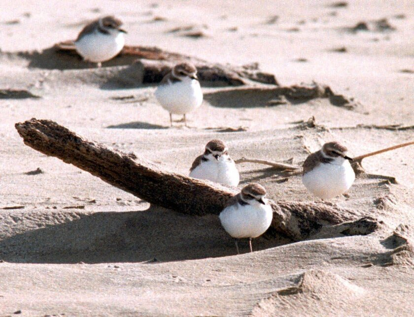 Western Snowy Plovers, Least Terns and other shore-nesting birds may benefit from relatively empty beaches during COVID-19 restrictions.
