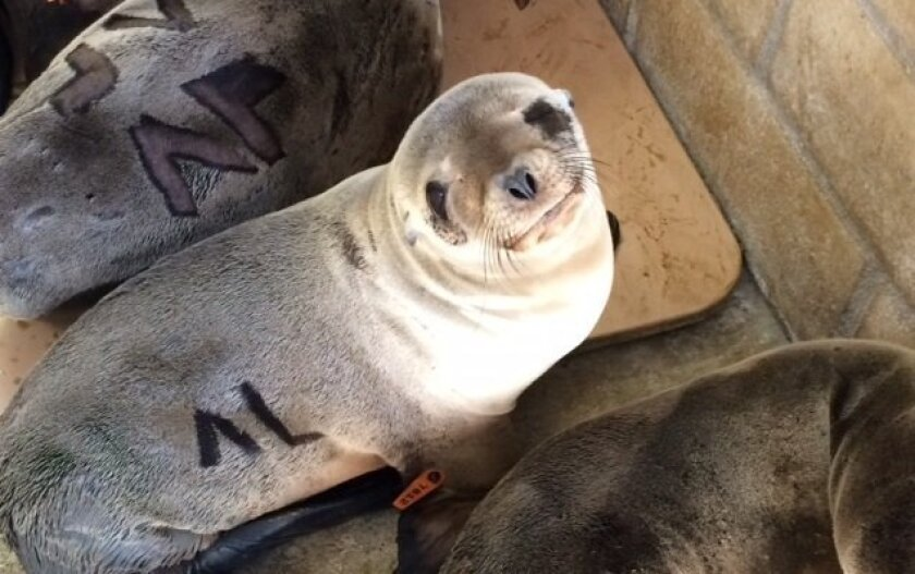 The sea lion pup rescued from the Marine Room in La Jolla is recovering at SeaWorld.