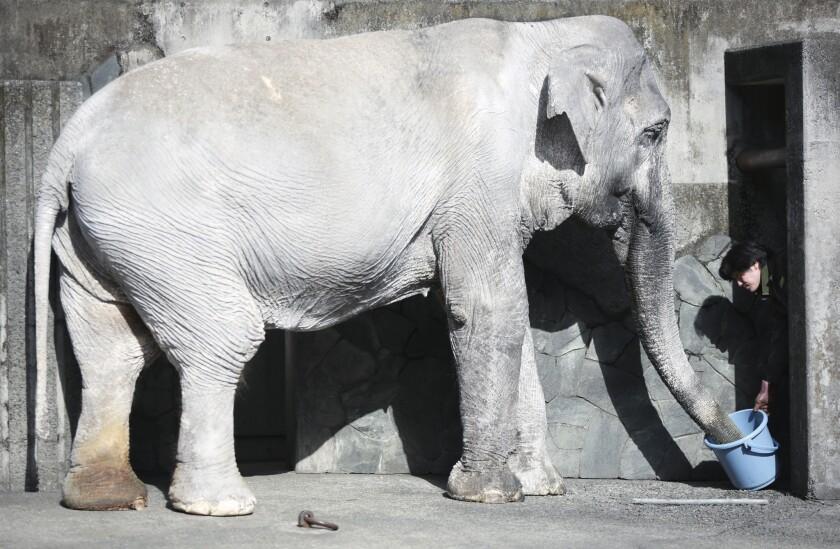 """En esta fotografía del 27 de enero de 2016, un cuidador alimenta a Hanako la elefanta en su jaula en el Parque Zoológico Inokashira a las afueras de Tokio. Una petición por internet pide que sea trasladada a un santuario tailandés, para que viva en un hábitat natural y verde, en donde podrá pasear con elefantes en manada, no sola en una jaula de concreto con una pequeña piscina que casi nunca usa y una construcción cercana para que pase la noche. Hidemasa Hori, vicedirector del parque, considera que """"es demasiado tarde para Hanako"""". (Foto AP/Eugen Hoshiko)"""