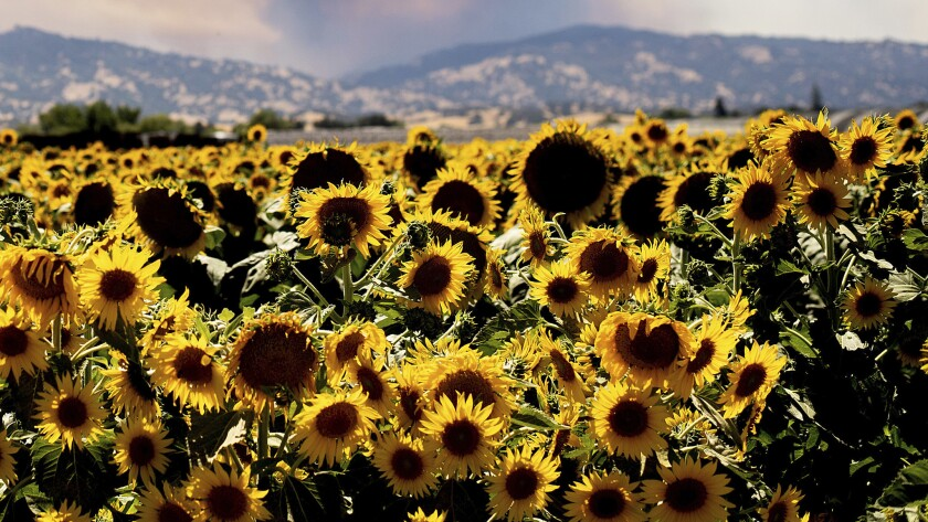 July 2018 image of a field of sunflowers in Citrona, Calif. In neighboring Solano County, the sherif