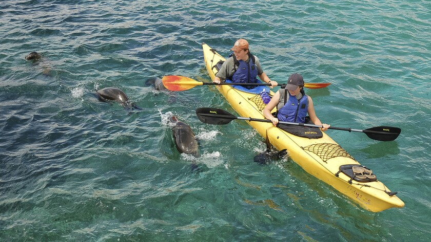 Kayakers encounter baby sea lions while paddling in the Galapagos Islands.