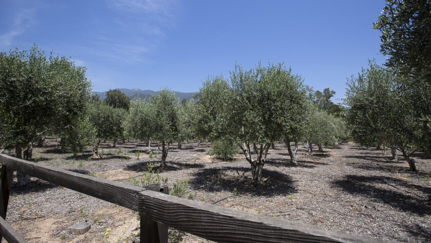 Olive orchard at Ojai Olive Oil Company outside the Ventura County town of Ojai, Calif.