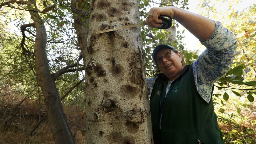 Rosi Dagit, a senior conservation biologist with the Resource Conservation District of the Santa Monica Mountains, measures the diameter of a dying alder tree during a tour of Topanga Creek.