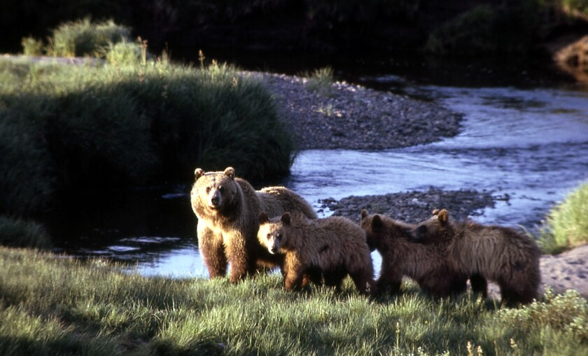 Grizzly bears at Yellowstone