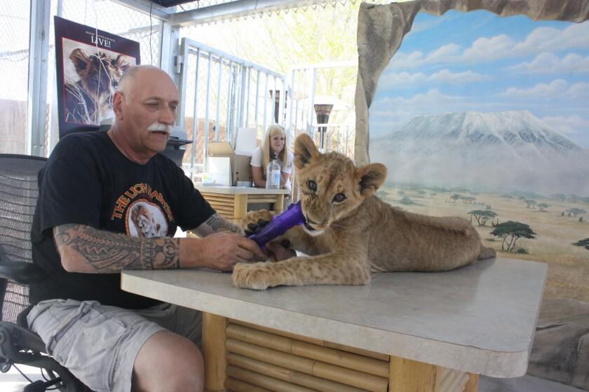 Lions roar at sanctuary near Las Vegas, but visitors are few