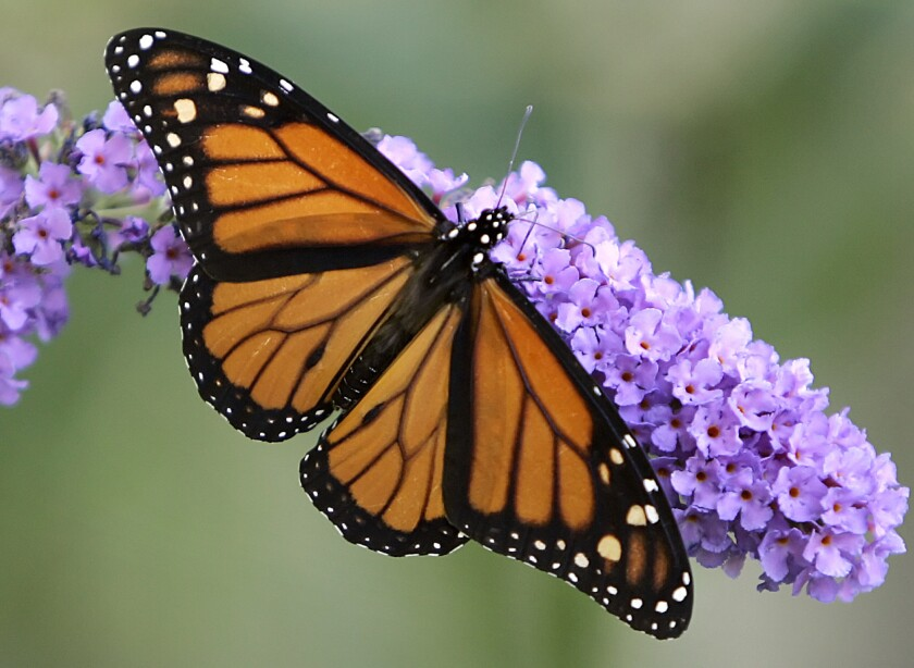 A new study suggests that variation in a single gene involving muscle structure separates monarch butterfly populations that migrate epic distances from their more sedentary cousins.