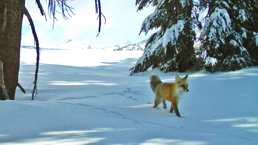 Elusive Sierra Nevada red fox is spotted