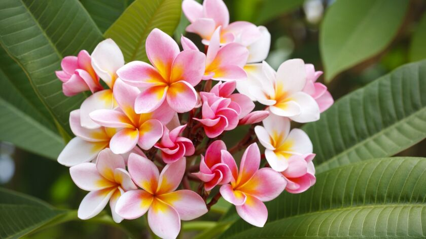 Plumeria are at their peak of blooming this month.