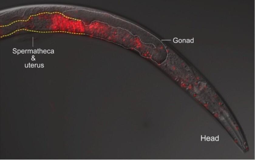Cross-species worm breeding gone awry. Fluorescence microscopy reveals Caenorhabditis sperm, in red, invading a female worm's body.