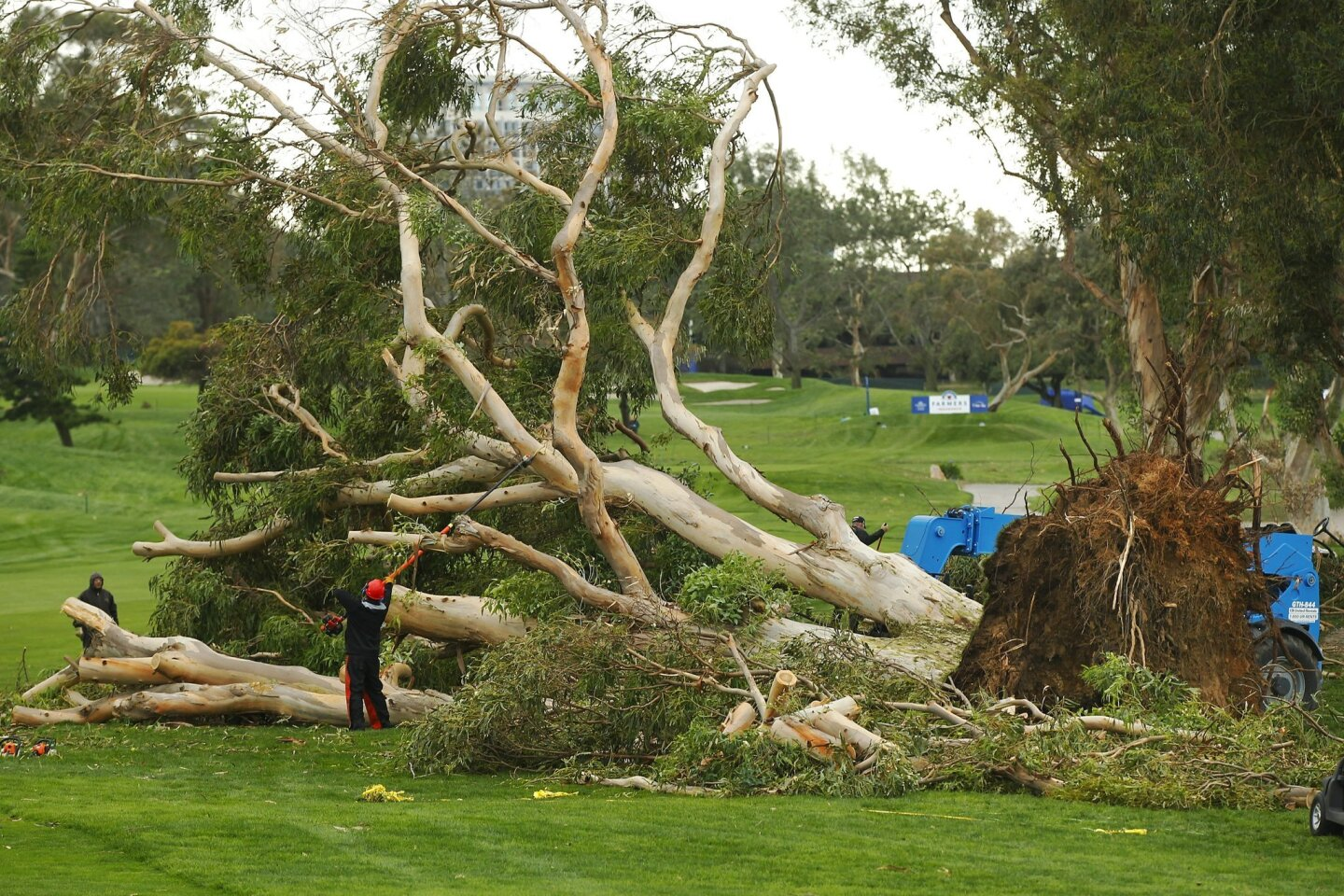 Workers clean up an iconic eucalyptus tree the fell on the 15th hole of south course at Torrey Pines, delaying the Farmers Insurance Open. Play resumed at 10am Monday.