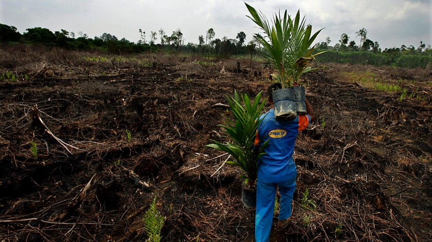 A plantation worker carries palm seedlings to be planted on a cleared and burned swath of peatland rainforest in Riau province on the Indonesian island of Sumatra.