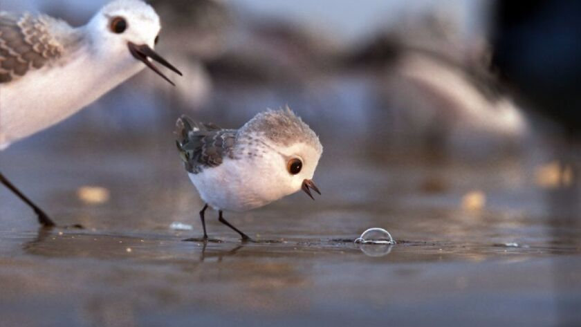 """""""Piper,"""" the Pixar film about a sandpiper chick who must conquer its fear of water, has been nominated for an Oscar in the short films, animation category."""