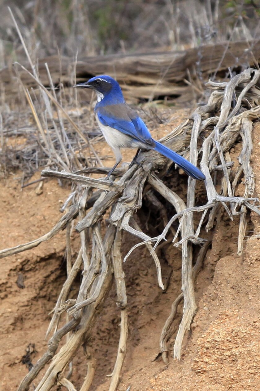 A Scrub-Jay is a common site in the Ramona grasslands along Highland Valley Road. David Brooks / U-T San Diego