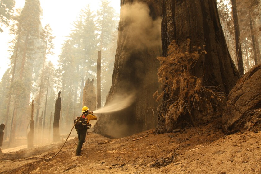 A firefighter sprays water on sequoia trees on the Trail of 100 Giants.