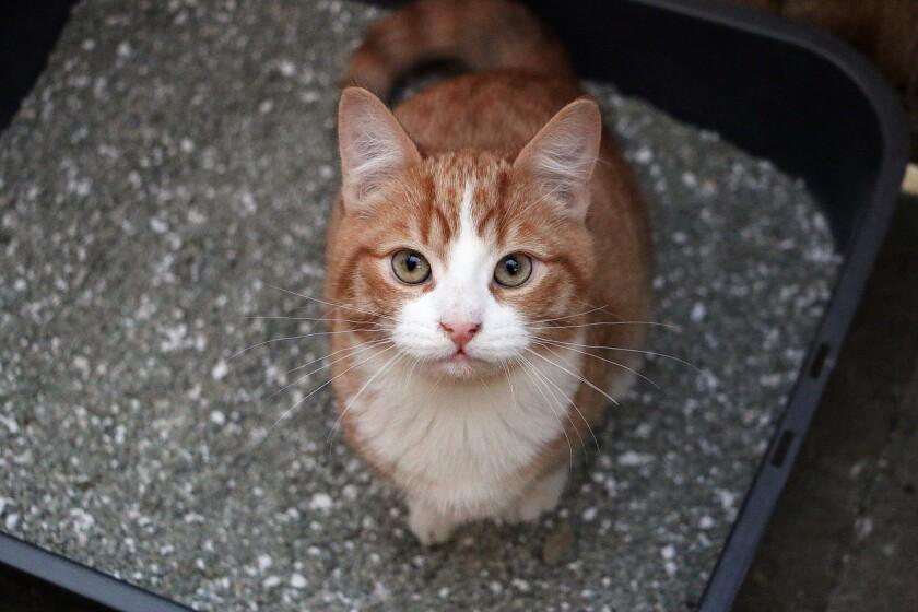 An orange cat sitting in a box of litter