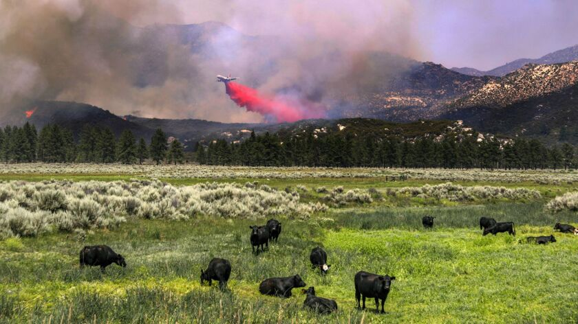A fire-retardant drop at Lake Hemet fails to faze grazing cows.