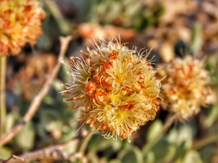 This photo provided by the Center for Biological Diversity shows Tiehm's buckwheat blooming at Rhyolite Ridge in the Silver Peak Range of Western Nevada, on June 1, 2019. Few people had ever heard of Tiehm's buckwheat when conservationists filed a petition two years ago to list the desert wildflower as an endangered species. But federal documents reviewed by The Associated Press show the rare plant at the center of a fight over a proposed lithium mine in Nevada has been on the government's radar for more than two decades. (Patrick Donnelly/Center for Biological Diversity via AP)