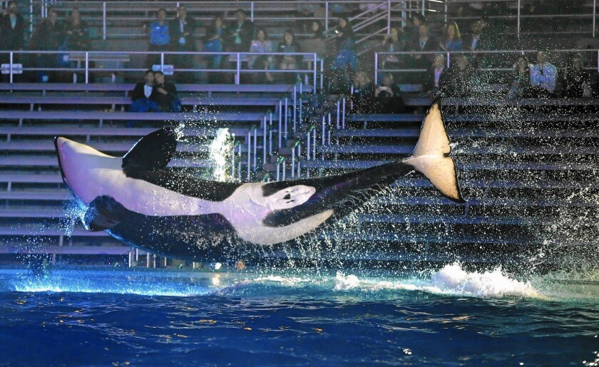 An orca leaps above its pool during a performance at SeaWorld San Diego in 2016.
