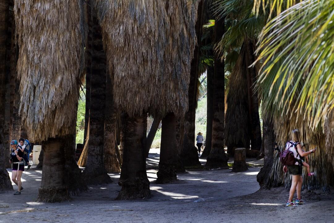 People walk among fan palm trees.