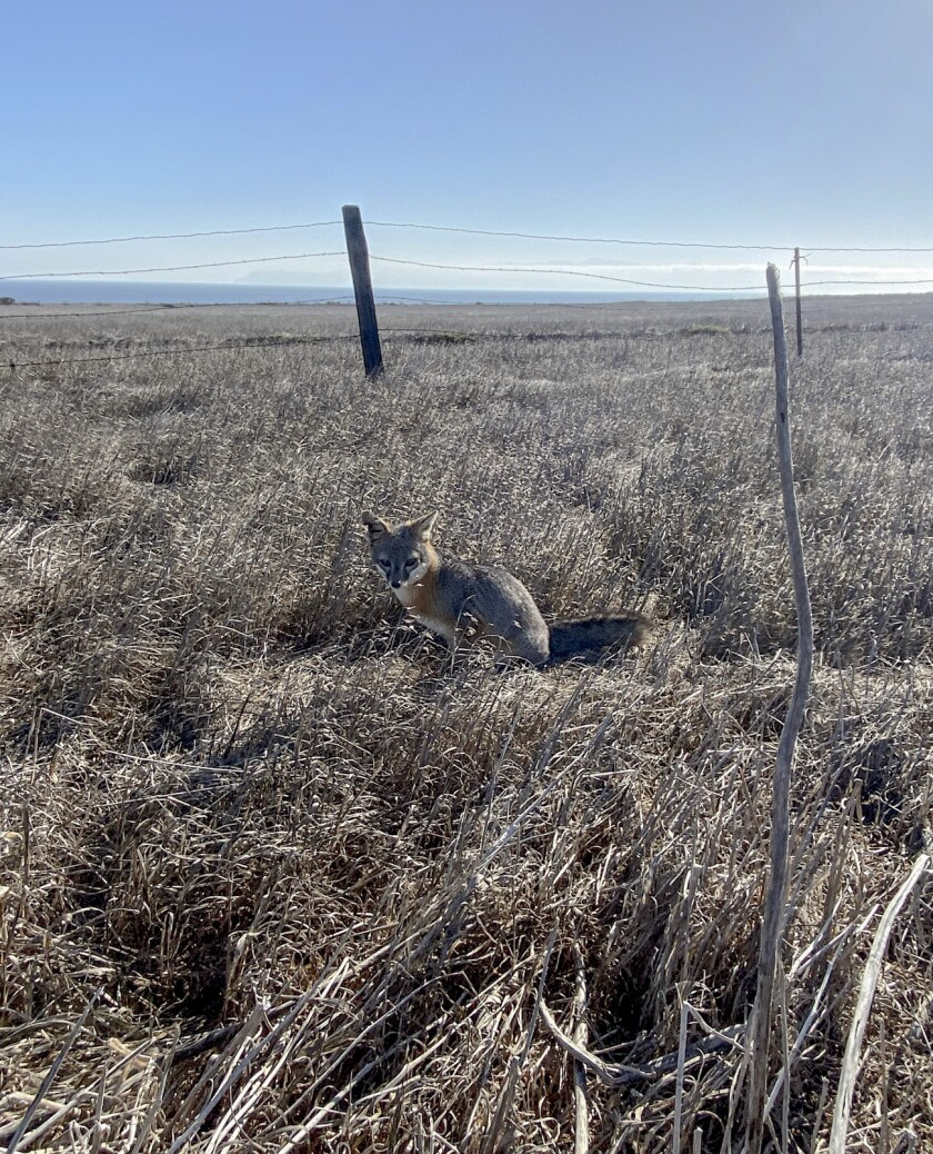 A small fox sits in dry brush
