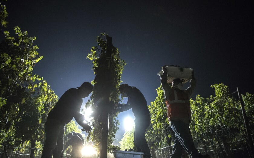 Workers pick cabernet sauvignon grapes by hand in the cool of the night at a Napa Valley vineyard owned by C. Mondavi & Family as a haze from area wildfires hovers in the air.