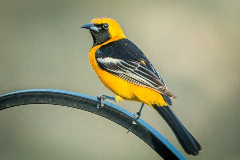 The male hooded oriole is one of the most colorful backyard visitors during the summer, feeding frequently at nectar feeders.