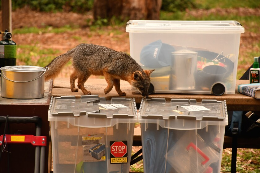 Island fox explores camper's gear at Scorpion Canyon Campground, Santa Cruz Island, Channel Islands National Park.